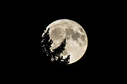 The full Harvest Moon rises through the trees as seen from Seattle on October 5, 2017. (Bettina Hansen / The Seattle Times)