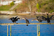 cormorants roosting on an abandoned dock on vashon island, washington