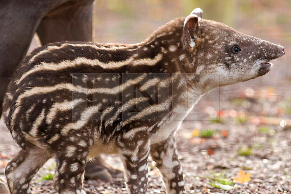 """© Licensed to London News Pictures. 02/11/2012. Twycross Zoo, Warwickshire, UK. After a thirteen month wait, Muffin a Brazilian Tapir has given birth to a tiny toddling stripey spotty baby Tapir. Keepers at Twycross Zoo in Warwickshire have nick named the baby Tapir, """"Humbug"""" after her distinctive furry coat. Brazilian Tapirs, also known as Lowland Tapirs are stockier than other species of Tapir and sport a thick mane of fur down their backs which is thought acts to protect them in the wild from predators like Jaguars who target the neck area. Humbugs dark brown coat, stripes and spots, will disappear as she gets older, she will merge in along with mother Muffin and father Pele, eventually becoming a dark grey colour.Photo credit : Dave Warren/LNP"""