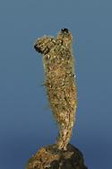 Leathery Sea Squirt - Styela clava
