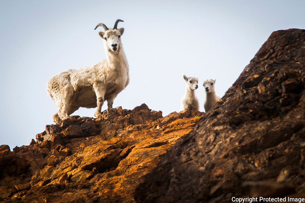A dall sheep ewe and lambs peer out from atop a rocky ridge near Toklat in 2008. Pregnancy lasts 4.5 months. Babies are ready to travel with their mother 24 hours after birth.