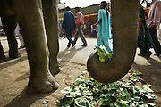 An elephant roaming the streets is fed cabbage scraps during the Kumbh Mela festival, Ujjain, Madhya Pradesh, India. The Kumbh Mela festival is a sacred Hindu pilgrimage held 4 times every 12 years, cycling between the cities of Allahabad, Nasik, Ujjain and Hardiwar. Kumbh Mela is one of the largest religious festivals on earth, attracting millions from all over India and the world. Past Melas have attracted up to 70 million visitors.