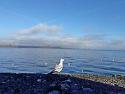 Seagull Chiemsee Bavaria