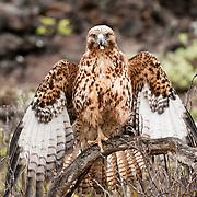 Galapagos Hawk (Buteo galapagoensis) drying its wings after a hard rain. Sombrero Chino, Galapagos Islands, Ecuador