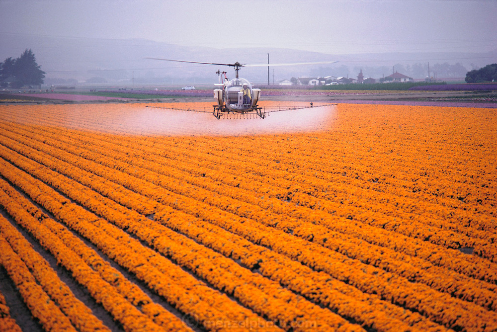 Crop dusting. Lompoc, California, USA. Spraying fields of marigold flowers grown for seeds with pesticides.