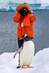 Photographing Gentto Penguin On Penguin Highway, Neko Harbor, Antarctica