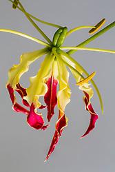 Gloriosa Lily #7