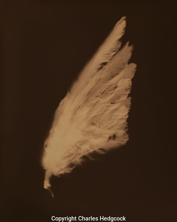 """Lumen print of a dove wing from Sonora, Mexico. Available to license and as limited edition archival 20""""x24"""" prints."""