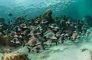 Black Margate (Anisotremus surinamensis)<br /> Hol Chan Marine Reserve<br /> near Ambergris Caye and Caye Caulker<br /> Belize<br /> Central America