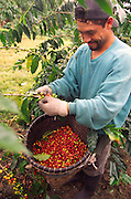 Kona coffee beans, Island of Hawaii (editorial use only, no model release)<br />