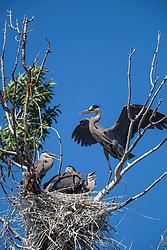 Blue Heron nest, Swan Valley Idaho
