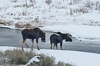 After making their way past the bison, this pair of bull moose crossed Soda Butte Creek.