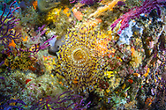Mediterranean fanworm-Spirographe (Sabella spallanzanii) of Méditerranée.