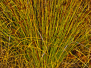 rushes in warm evening light