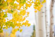 Golden aspen trees in autumn on Buttermilk Mountain in Aspen, Colorado.