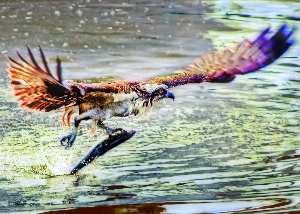 Seabirds of Long Island Sound. Osprey.