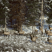 Elk (Cervus canadensis) bulls and cows entering timber during fall rut in Yellowstone National Park, Wyoming.