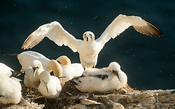 Gannets and Gannet chick at the RSPB nature reserve at Bempton Cliffs in Yorkshire, as over 250,000 seabirds flock to the chalk cliffs to find a mate and raise their young.