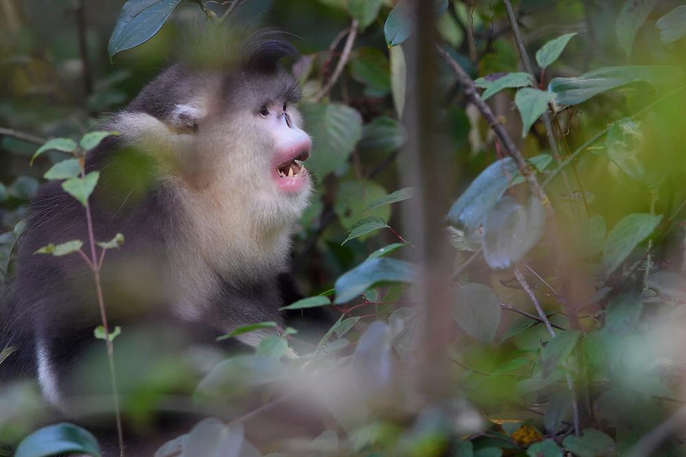 Adult Yunnan, or Black Snub-nosed monkey, Rhinopithecus bieti, sitting in a tree Ta Cheng Nature reserve, Yunnan, China