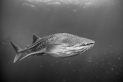 Largest of all fish, the Whale Shark, Rhincodon typus, can exceed 40 feet in length. This individual sports a beard of hitchiking sharksuckers, Echeneis naucrates.  Richelieu Rock, Thailand, Andaman Sea