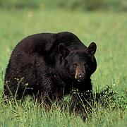 Black Bear, (Ursus americanus) Large male in Southwest Montana. Captive Animal.
