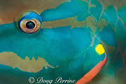 stoplight parrotfish, <br /> Sparisoma viride, terminal male<br /> Cayman Island ( Caribbean )