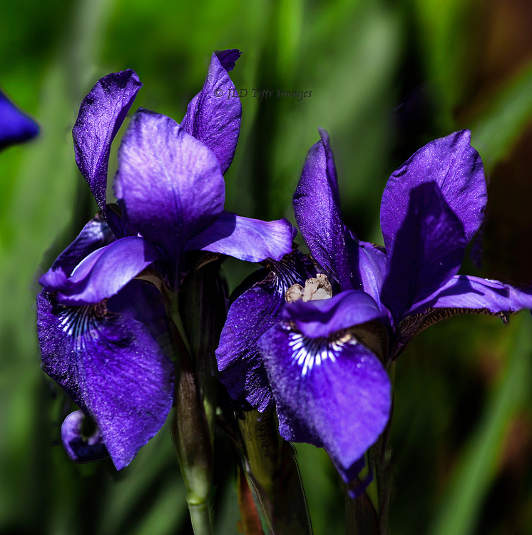 Close up of two purple irises in bloom