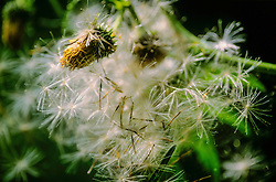 Bleekgele vederdistel, Cirsium erisithales