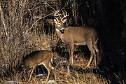 Mature whitetail buck with doe in autumn habitat