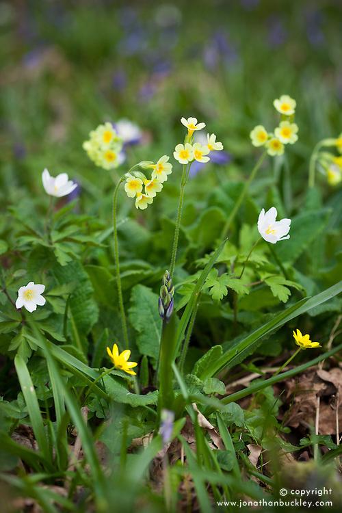 Oxlips, bluebells, celandines and wood anemones. Primula elatior, Anemone nemorosa, Hyacinthus non-scripta