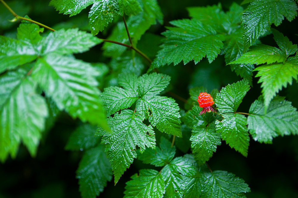 Ripe salmonberry (Rubus spectabilis) on the bank of the Cascade River in Mount Baker-Snoqualmie National Forest, Washington.