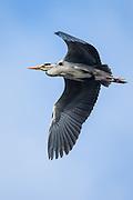 Gråhegre svever i luften | Grey heron floating in the air