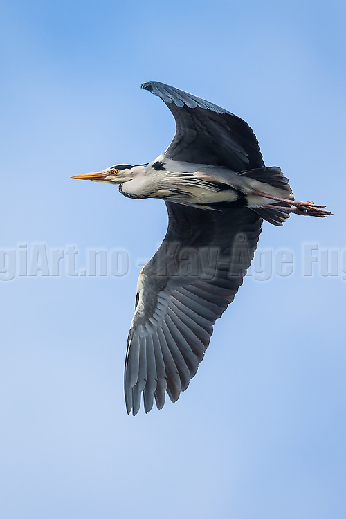 Gråhegre svever i luften   Grey heron floating in the air