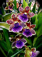 Bright cheerful colors, purple, maroon and yellow, paint the petals of a blooming orchid