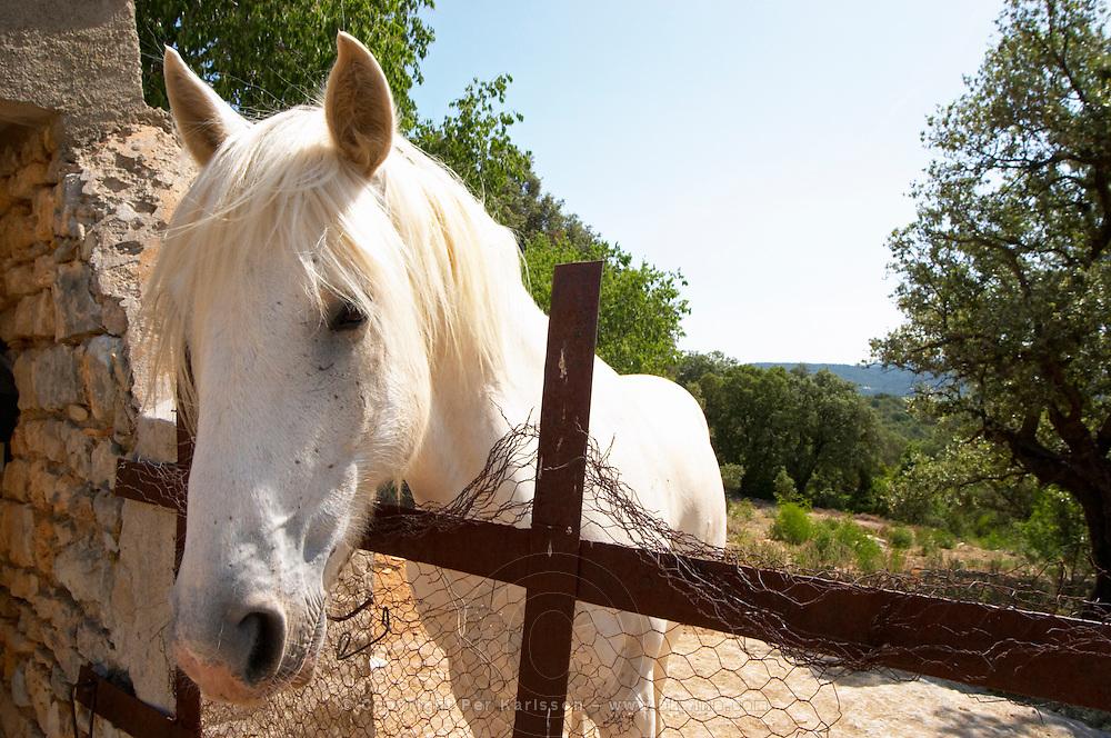 Domaine Ermitage du Pic St Loup, Chateau Ste Agnes. Pic St Loup. Languedoc. France. Europe. Vineyard horse.