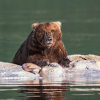A brown bear in the waters of Kiniak Bay at high tide guarding a whale carcass that he has been feeding upon, Katmai National Park