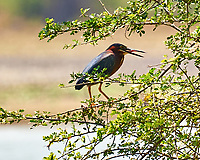 Green Heron (Butorides virescens). Crooked Tree Wildlife Sanctuary. Image taken with a Nikon D3s camera and 70-300 mm VR lens