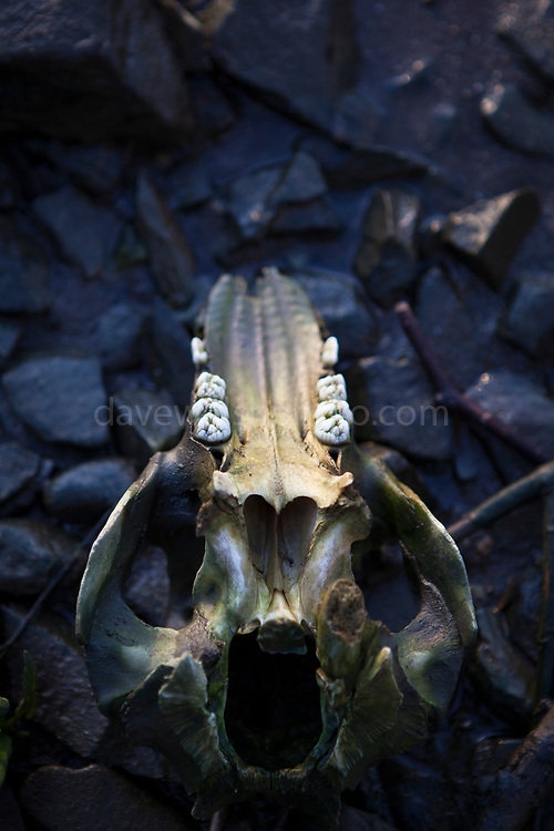 """Sheep skull on beach, Wexford This mage can be licensed via Millennium Images. Contact me for more details, or email mail@milim.com For prints, contact me, or click """"add to cart"""" to some standard print options."""