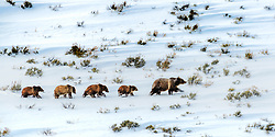 Are we there yet Mom? Grizzly 399 on the way to her winter den with her four cubs.<br /> <br /> <br /> Contact for custom print options - dh@theholepicture.com