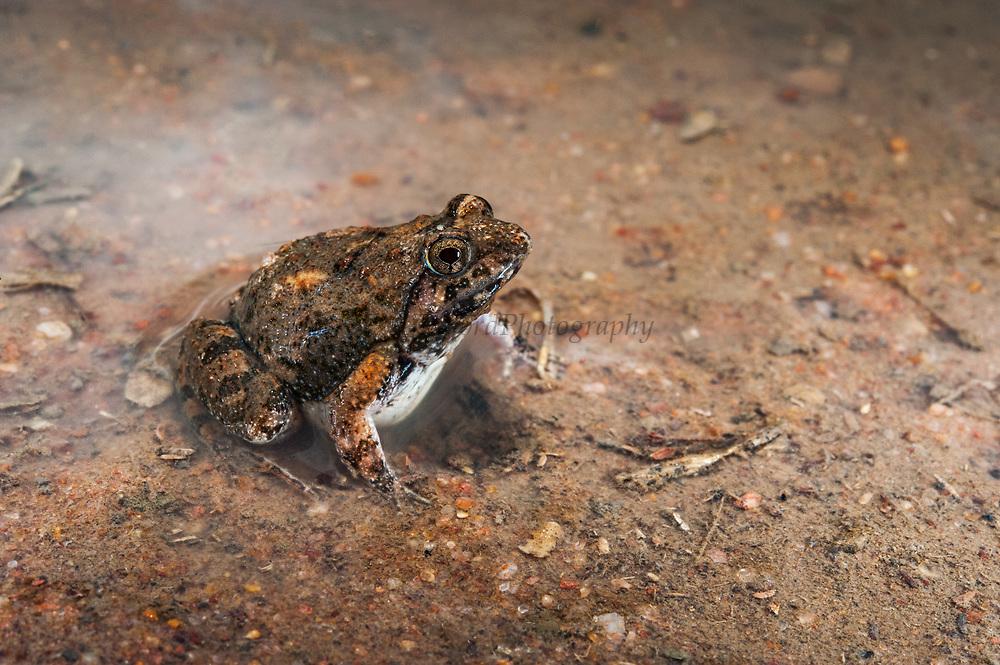 Natal sand frog (Tomopterna natalensis)<br /> Marataba, A section of the Marakele National Park, Waterberg Biosphere Reserve<br /> Limpopo Province<br /> SOUTH AFRICA<br /> HABITAT & RANGE: Variety of habitats in savanna and grassland.