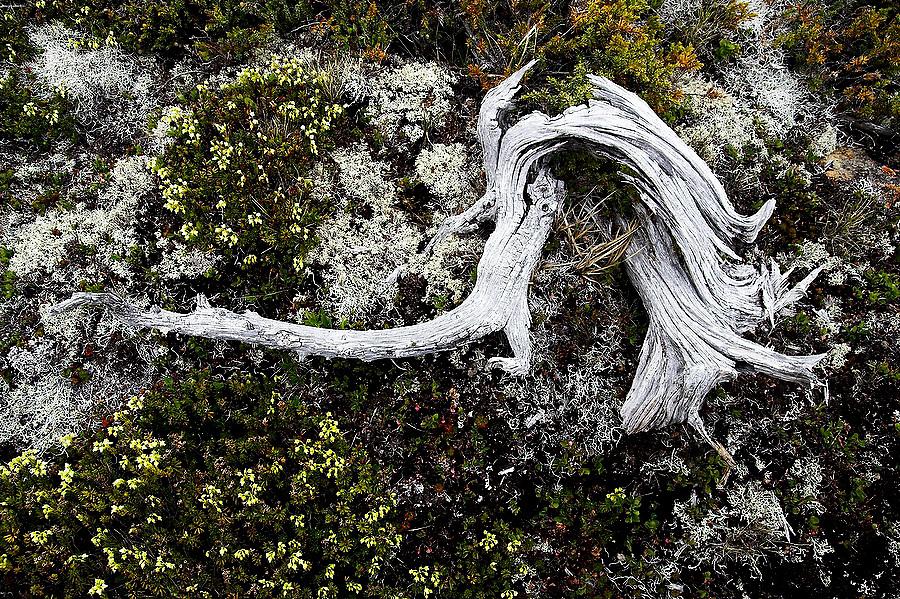 Spring brings spots of color to the dwarfed alpine vegetation around a gnarled stump below Tomyhoi Peak, Mount Baker Wilderness, Washington.