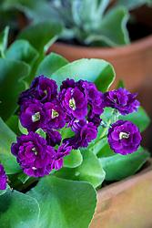 Primula auricula 'Purple Pip'