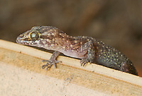 Timor bent-toed gecko, a previously undescribed species of the genus Cyrtodactylus, from Atauro Island, Timor-Leste (East Timor).