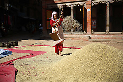 October 21, 2016 - Bhaktapur, Nepal - A Nepalese woman harvesting rice grains in Bhaktapur, Nepal on Friday, October 21, 2016. (Credit Image: © Skanda Gautam via ZUMA Wire)