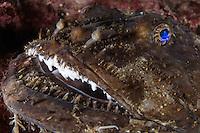 Monkfish, Anglerfish, Lophius piscatorius.Atlantic marine life, Saltstraumen, Bodö, Norway