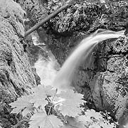 Maple Sapling Sol Duc Falls - Olympic National Park - Black & White