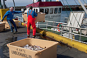 Icelandic cod fishermen lower storage containers full of cod fish onto the dock at the small port of Sandgerdi on the western side of the Reykjanes peninsula, Iceland. Although their craft is small, their large nets are mechanized. They monitor the casting then drink coffee and eat bread and fruit in the boat's galley until it's time to haul in the bounty. They clean the fish in the belly of the ship, toss the guts, and then, after repeating this cycle many times for 8 hours, head for port. The fishermen take a fish or two home each day, along with their pay.
