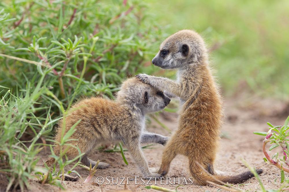 Meerkat<br /> Suricata suricatta<br /> Three-week-old pups<br /> Makgadikgadi Pans, Botswana