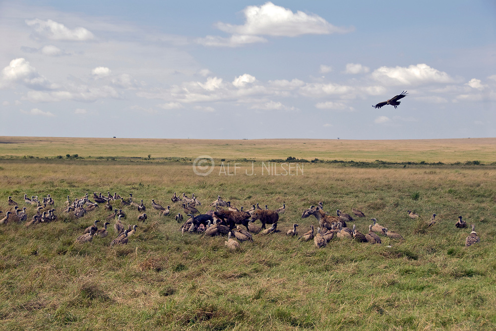 Vultures and other predators gather around a dead buffalo in Maasai Mara; Kenya