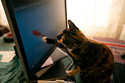 Zelda the cat plays with objects on the computer screen in her Oakland, Calif. home, Saturday, Sept. 12, 2020. (Photo by D. Ross Cameron)